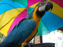 Blue and gold macaw parror Stock Photos
