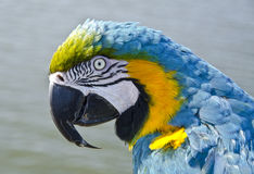 Blue and Gold Macaw Parrot. Close up of Blue and Gold Macaw Parrot Stock Images