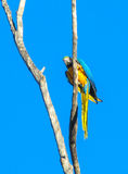 Blue-gold macaw parrot on high tree royalty free stock photo