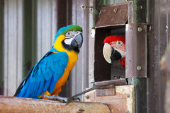 Blue and Gold Macaw Parrot Royalty Free Stock Photo