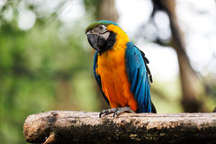 Blue and Gold Macaw Parrot Stock Photo