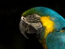 Blue and gold Macaw (Parrot). Macaws use their powerful beaks , not only for crushing nuts, but also for climbing up and hanging on trees Royalty Free Stock Photos