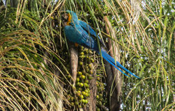 Blue-gold macaw parrot on the palm tree. Blue gold macaw parrot in tropic park. Tropical colorful bird Royalty Free Stock Photos