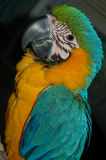 Blue and Gold Macaw Parrot. Photograph of my blue and gold Macaw Royalty Free Stock Photo