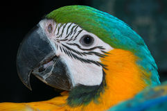 Blue and Gold Macaw Parrot. Photograph of my blue and gold Macaw Stock Image