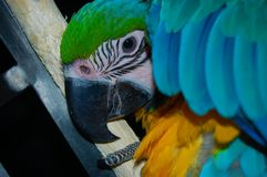 Blue and Gold Macaw Parrot Playing PeekABoo Stock Image