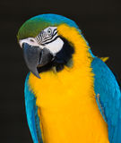 Blue and Gold Macaw Parrot Portrait Stock Photography