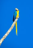 Blue-gold macaw parrot on the tree stock images