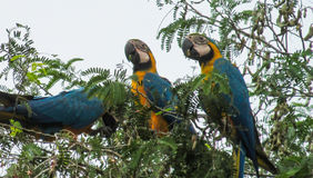 Blue-gold macaw parrot on tree stock images
