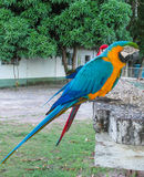 Blue-gold macaw parrot stock image
