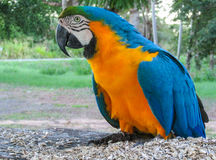 Blue-gold macaw parrot royalty free stock photography