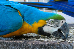 Blue-gold macaw parrot stock photos