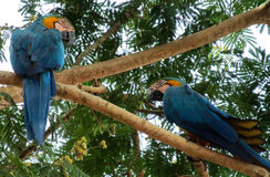 Blue and gold macaw parrot royalty free stock photography