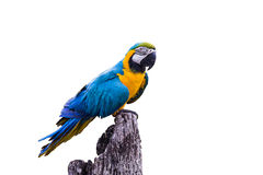 Blue Gold Macaw Parrot. On white background Stock Photography