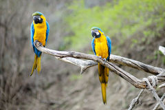 Blue and gold macaw parrots royalty free stock image