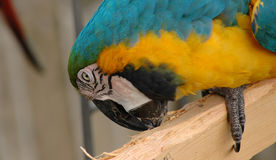 Blue-and-gold macaw pecking wooden plank Royalty Free Stock Photos