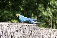 Blue and Gold Macaw, Peru, South America Stock Photography