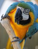 Blue and Gold Macaw Playing Royalty Free Stock Image