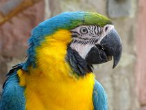 Blue and gold macaw. Portrait of a blue and gold macaw Stock Images