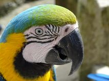 Blue and gold macaw. Portrait of a blue and gold macaw Royalty Free Stock Photography