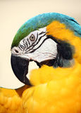 Blue and gold macaw preening Royalty Free Stock Image