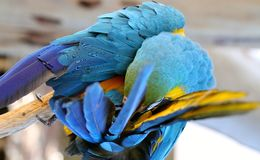Blue and Gold Macaw Preening Royalty Free Stock Images