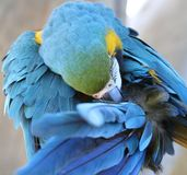 Blue and Gold Macaw Preening Stock Photos