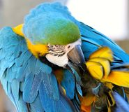 Blue and Gold Macaw Preening Stock Images