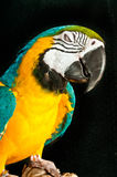 Blue/gold macaw rescued parrot. Dozing off in a rescue facility Stock Photo