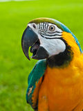 Blue, gold macaw rescued parrot. Standing on a bench calling owner for food at a public tropical park Royalty Free Stock Image