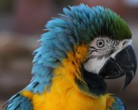 Blue and Gold Macaw Ruffled Feathers Stock Photography