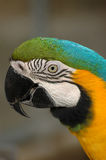 Blue-and-gold macaw's head in detail stock images