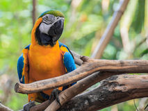 Blue and Gold macaw, Scientific name Royalty Free Stock Images