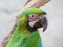 Blue and Gold macaw, Scientific name Stock Photography