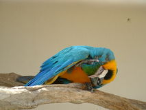Blue & Gold Macaw scratching. His head Royalty Free Stock Photo