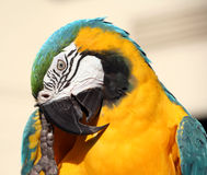 Blue and gold macaw scratching. His beak with his clawed foot royalty free stock images