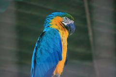 Blue and Gold Macaw in side view looking at the camera stock photo