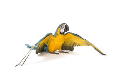 Blue and Gold Macaw spreading its wings Royalty Free Stock Photos