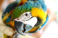 Blue Gold Macaw. Staring at camera Stock Image