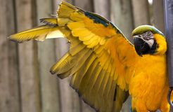 Blue Gold Macaw Stretching Yellow Wing Stock Photos