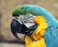 A Blue and Gold Macaw in a tree royalty free stock photos