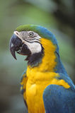 Blue & Gold Macaw. Is a Wildlife Animal Stock Photos