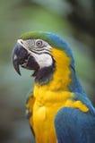 Blue & Gold Macaw Stock Photos