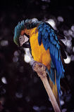 Blue & Gold Macaw. Is a Wildlife Animal Royalty Free Stock Photos