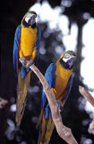 Blue & Gold Macaw. Is a Wildlife Animal Royalty Free Stock Images