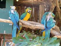 Blue and Gold Macaw. In a wooden cage Royalty Free Stock Photo
