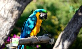 Blue and gold Macaw parrot Stock Photography