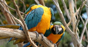 Blue And Gold Macaws. Colorful blue and glod macaws sitting on a tree Stock Images
