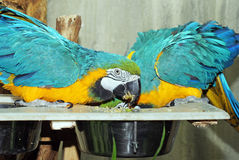 Blue and Gold Macaws Dine Royalty Free Stock Photography