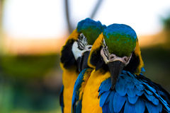 Blue and Gold Macaws Royalty Free Stock Image